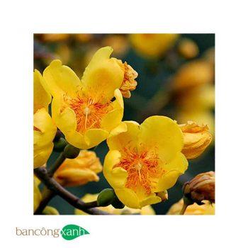cây mai hoa đăng