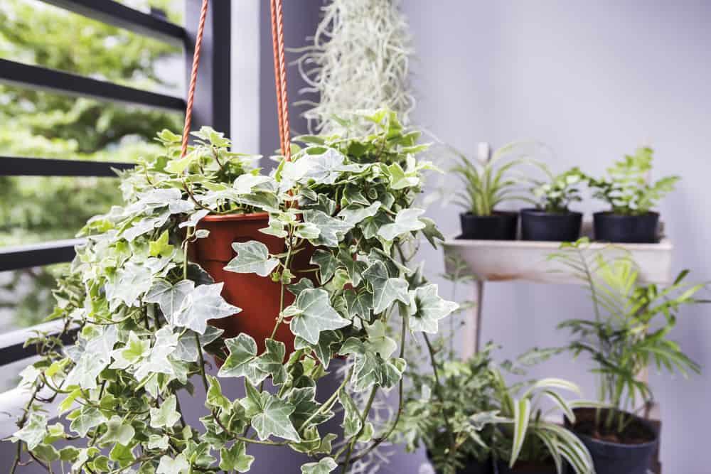 10 cây cảnh trồng trong nhà