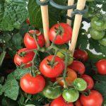 Cách chăm sóc cây cà chua