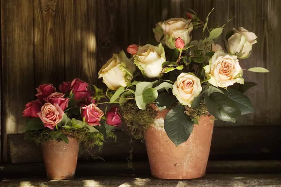 cách trồng cây hoa hồng trong chậu