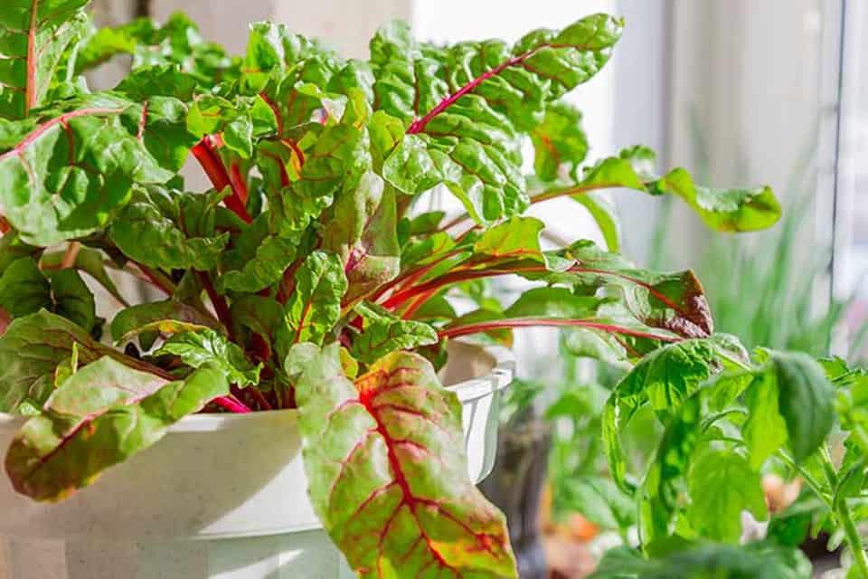cách trồng củ dền trong chậu