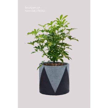 cây ngũ gia bì cẩm thạch