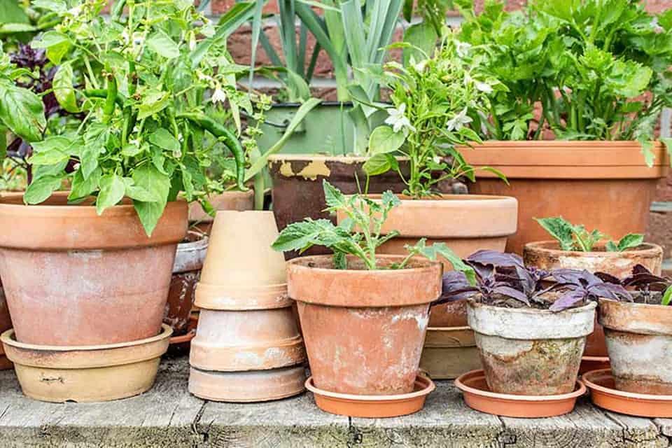 rau trồng trong chậu