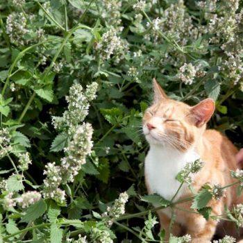cỏ bạc hà cho mèo