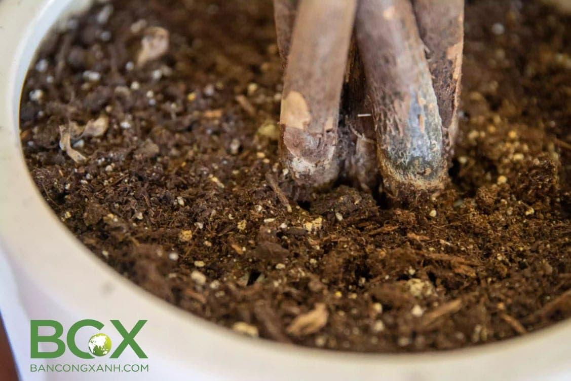 Cải tạo đất trồng cây trong chậu, cây nội thất 2