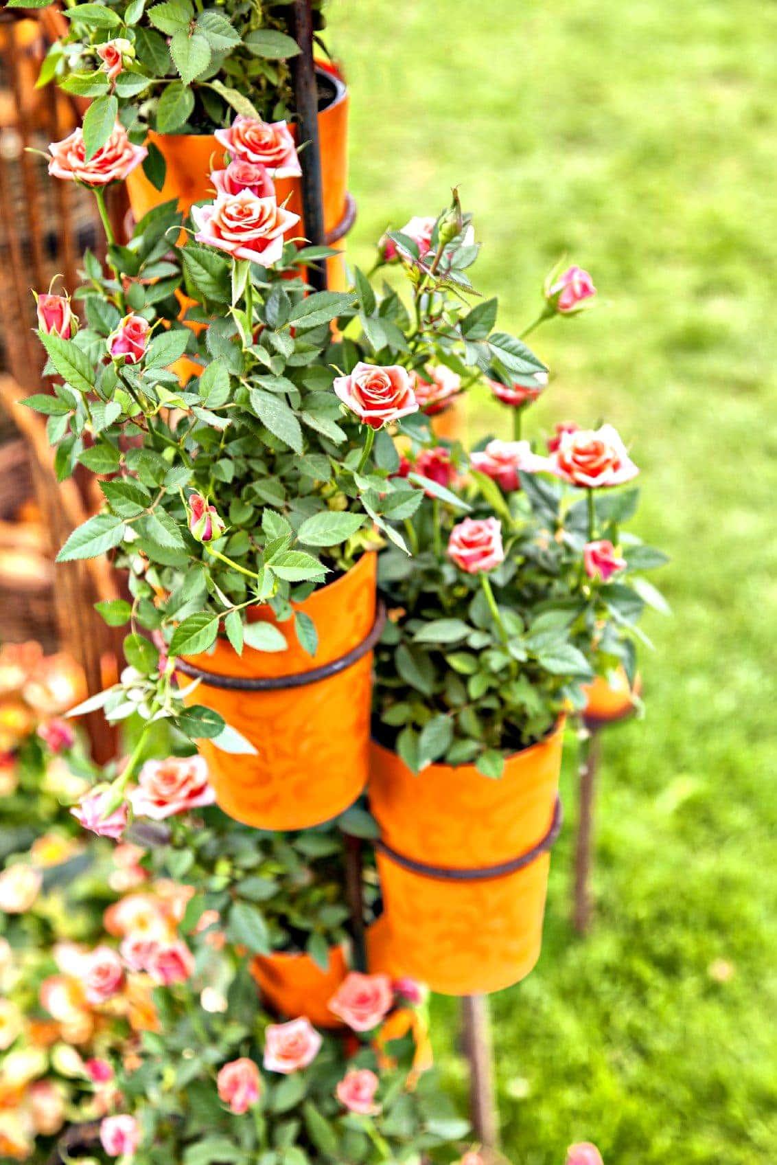 hướng dẫn chuẩn bị bầu đất trồng hoa hồng 1