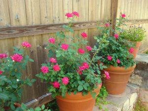 Chậu nhựa trồng hoa hồng