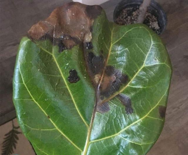 Nấm và virus đều có thể khiến cây bàng bị rụng lá mặc dù cây vẫn sinh trưởng bình thường