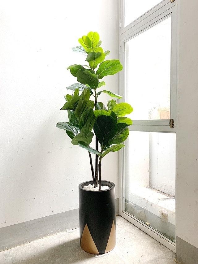 Người trồng cần lưu ý đặt cây ở nơi có lượng ánh sáng vừa đủ để quang hợp, không bị nắng gắt tiếp xúc quá lâu