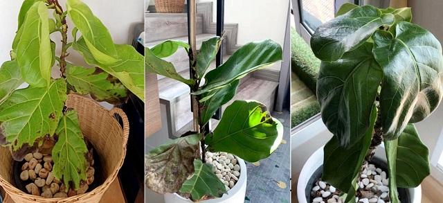 Cây bàng Singapore bị rụng lá do nhiều nguyên nhân gây ra
