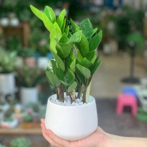 Nên chọn cây kim tiền có thân, lá phát triển xanh tốt để trồng làm cảnh