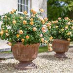 chọn chậu trồng hoa hồng