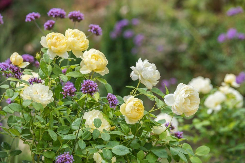 tự làm phân bón hoa hồng