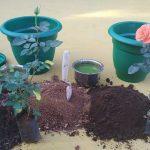 làm đất trồng hoa hồng trong chậu