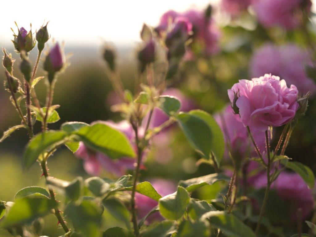 hoa hồng bị rụng lá 1