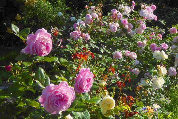 Giâm cành hoa hồng