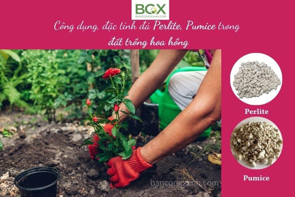 đá perlite, pumice và đất trồng hoa hồng