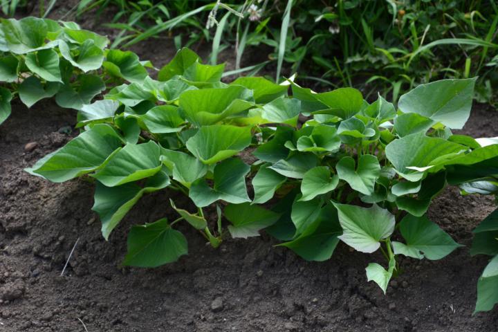 trồng khoai lang