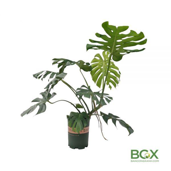 Cây trầu bà lá xẻ trồng chậu Size M 80-100cm