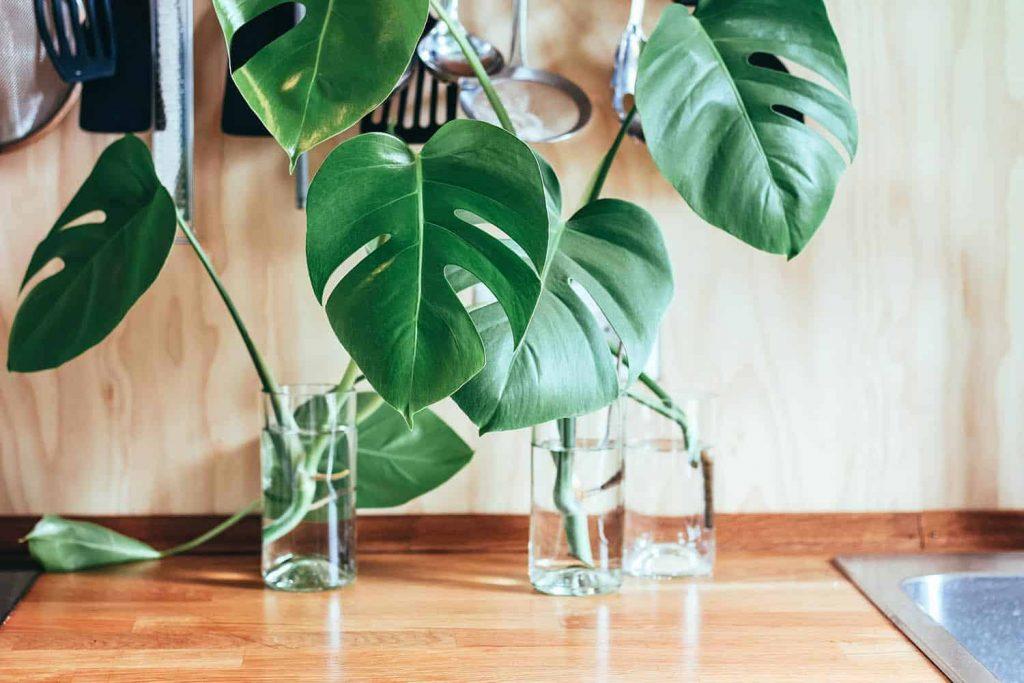 trồng cây Monstera trong nước