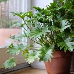 Cây Trầu bà chân vịt bị héo lá — Nguyên nhân và cách khắc phục