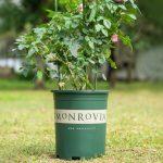 trồng trầu bà lá xẻ bằng chậu Monrovia