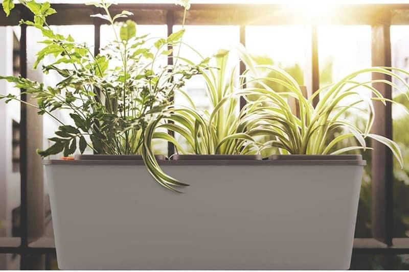 trồng trầu bà lá xẻ bằng chậu tự tưới