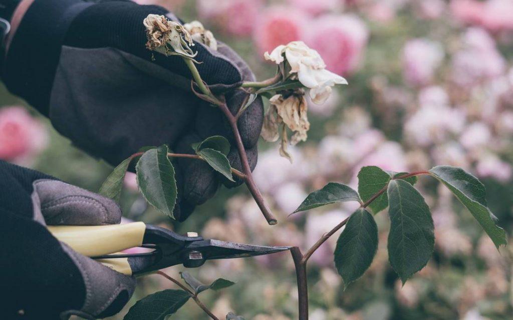 Cắt tỉa hoa hồng ra hoa