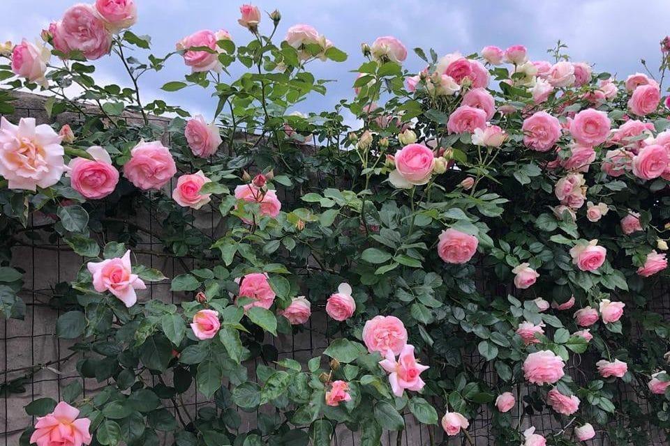 Hoa hồng cổ cách trồng và chăm sóc
