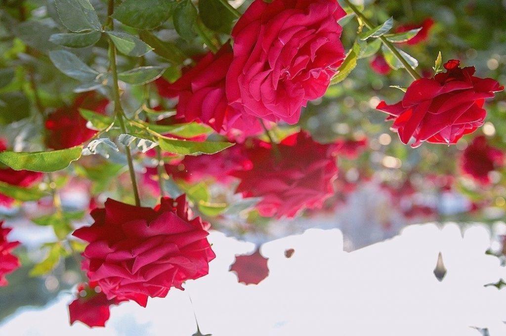 vì sao cân lót đáy chậu trồng hoa hồng